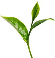Blattqualität des Tees